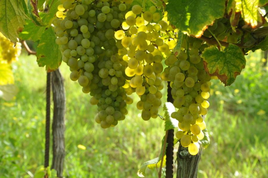 http://www.sanninovini.com/categoria-prodotto/vini-bianchi/